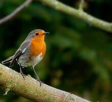 Robin by Rhys Herbert