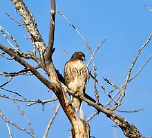 Red-tailed Hawk - Buteo jamaicensis by amontanaview