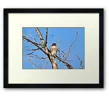 Red-tailed Hawk - Buteo jamaicensis Framed Print