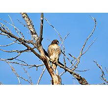 Red-tailed Hawk - Buteo jamaicensis Photographic Print