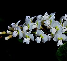 Hardenbergia violacea Alba by andrachne
