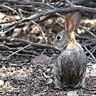 Desert Cottontail by tdash