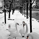 Swans at Dublin's Grand Canal by Esther  Moliné