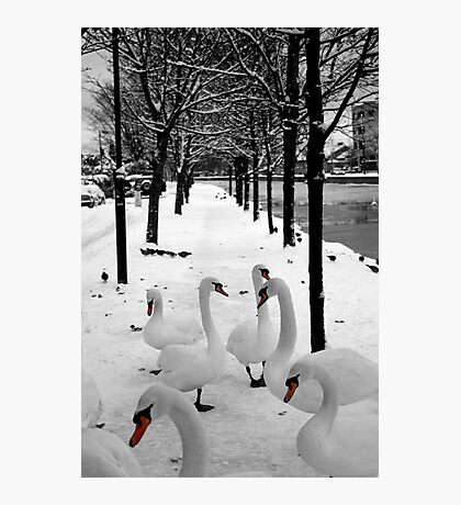 Swans at Dublin's Grand Canal Photographic Print