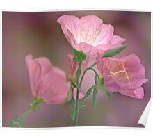 Pink Evening Primrose Poster
