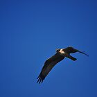 Osprey in Flight by joevoz