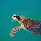 Sea Turtle by joevoz