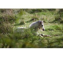 Wild Gower pony Photographic Print
