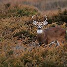 White-tailed Deer Amongst Junipers by Bill McMullen