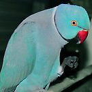 Blue Ringneck - http://www.facebook.com/#!/peel.zoo by Toni Kane
