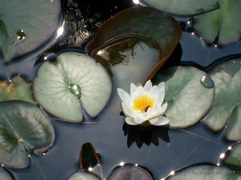 Water Lily by Jane Neill-Hancock
