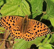 Dark Green Fritillary Butterfly, Alun Valley (South Wales) by Michael Field