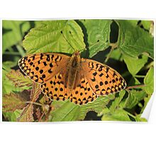 Dark Green Fritillary Butterfly, Alun Valley (South Wales) Poster