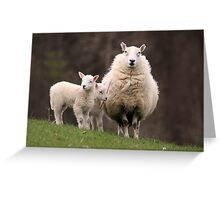 Sheep with young Lambs, Brecon Beacons (South Wales) Greeting Card