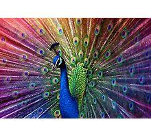 peacock (violet) Photographic Print