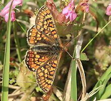 Marsh Fritillary Butterfly, Aberbargoed (South Wales) by Michael Field