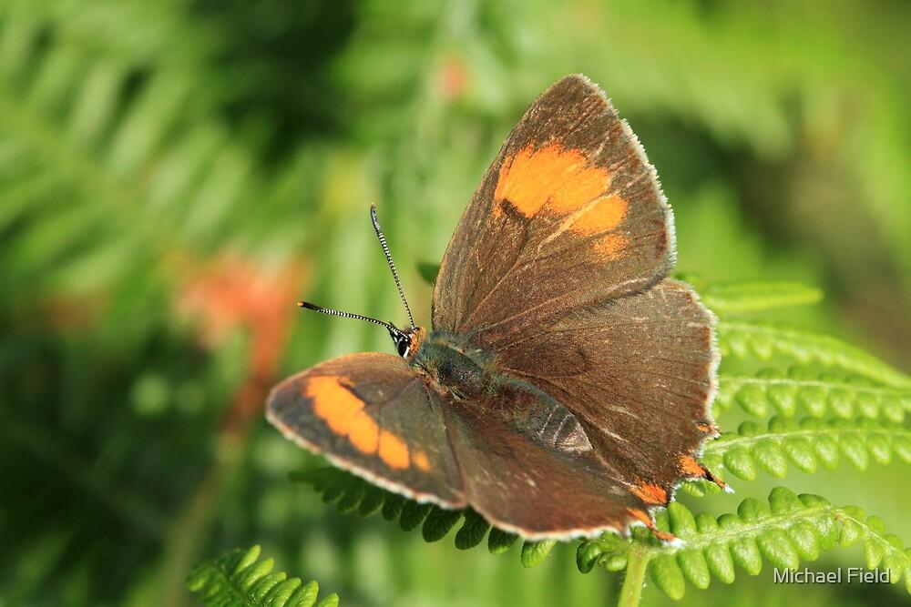 Brown Hairstreak Butterfly on Bracken, Pembrokeshire (West Wales) by Michael Field