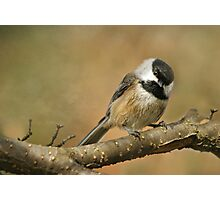 The Ever Cheerful.... Black-capped Chickadee Photographic Print