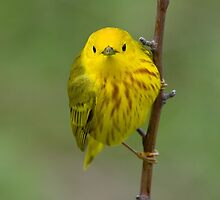 Yellow Warbler by Wayne Wood