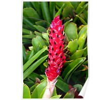 Stalk-like bromeliad Poster