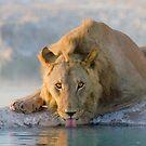 The Thirsty Lion - Etosha NP Africa by Beth  Wode