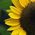 Sun-flower by necieann