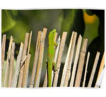 Gecko on Bamboo Fence Poster