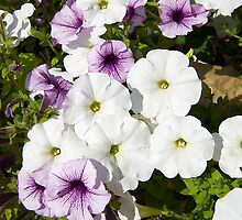Purple and White Petunias by StonePics
