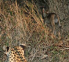Leopard/duiker interaction 2(I am going to get you!) by jozi1