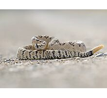great basin rattlesnake Photographic Print