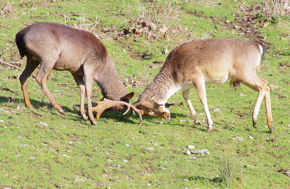 The Rut - Head Down by Dave Godden
