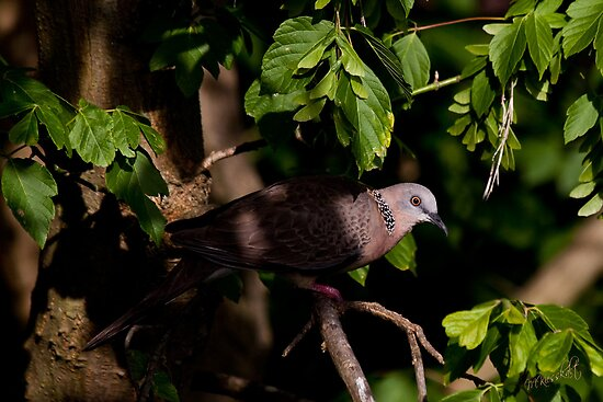 Spotted Dove by margotk