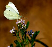 Cabbage White by Thomas Young