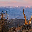 Bristlecone Bishop Sunrise by Nolan Nitschke