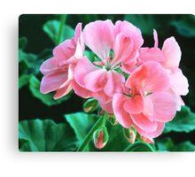 Geranium 'Patriot Bright Pink' Canvas Print