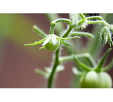 Killer Green Tomatoes Photographic Print