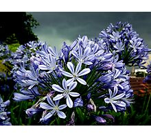 Agapanthus Before a Storm Photographic Print