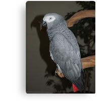 African Grey Canvas Print