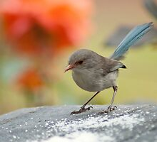 Blue Wren Female by Adrian Kent