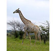Rotschild Giraffe - Khama Nature Reserve, Botswana, Africa Photographic Print