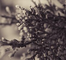 Frosted Pine by Rebbecca Romine