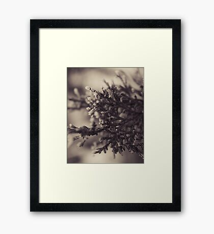 Frosted Pine Framed Print
