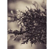 Frosted Pine Photographic Print