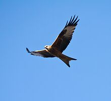 Red Kite by Jay Taylor