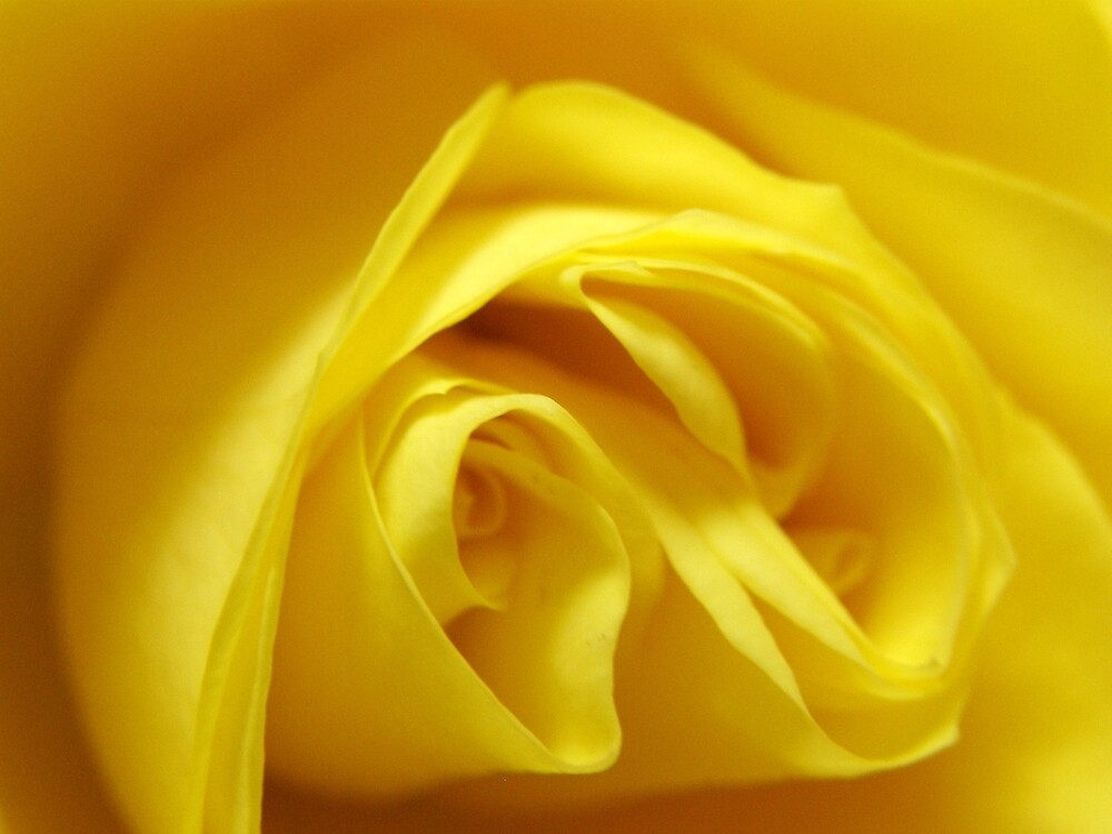 Soft Yellow Rose by mikequigley