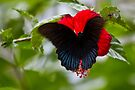 Bali Butterfly by Normf