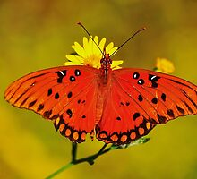 Orange Butterfly by joevoz