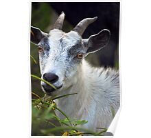 Billy Goat Poster