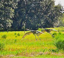 Sandhill Crane  Landing by joevoz
