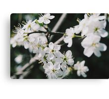 Pretty White Flowers Canvas Print